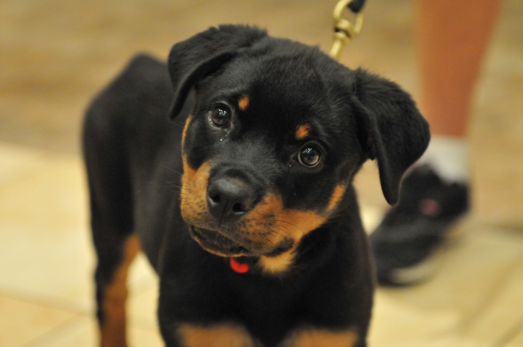 Saber the Rottweiler in puppy class